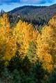October Aspens in Santa Fe NM