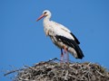 Stork on its rooftop nest
