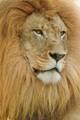 Lion in Naples, FL zoo, April, 2004