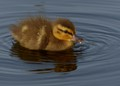 The Dabbling Duckling