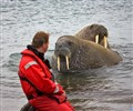 Curious Walrus in Svalbard