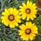 Three yellow flowers: