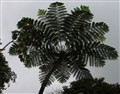 Tree Fern in Dominica