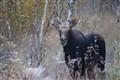 Moose (bull)