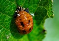 Larva of a Ladybug feeding on aphids
