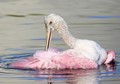 Young-Spoonbill-Taking-a-Bath