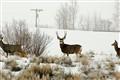 herd of deer in pinedale wyoming