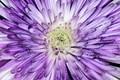 Variegated Purple Mum