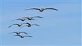 Pelicans Topsail Beach NC sm