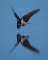 Welcome Swallow Swoop