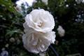 _MG_0029White Roses