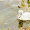 Whooper Swan Cygnet