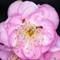 3 ants in bloom crop 2 -- 1600 px longest side (from 3084)