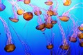 The super soft Jellyfishes