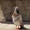 Posing_Pigeon