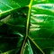 Elephant Leaf DPR