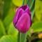 Tulip 2014
