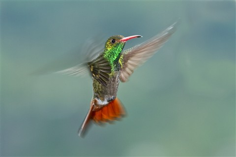 Green-bellied Hummingbird (Amazilia viridigaster)
