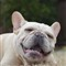 Gunther: The French Bulldog