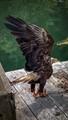 Bald eagle - State bird of Alaska