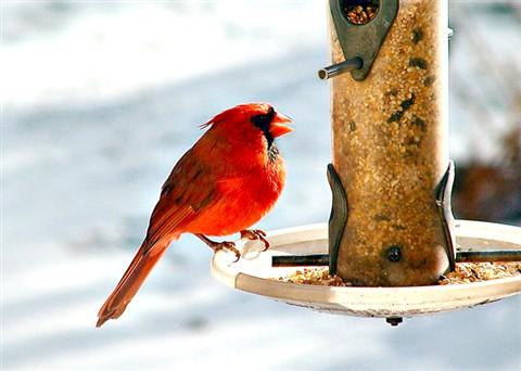 Cardinal_Male