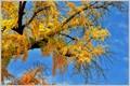 An old gingko tree