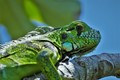 green iguana on the tree