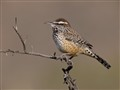 Portrait of a Cactus Wren