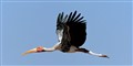 Painted stork in fly