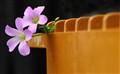 Tengechi Flower----Assam
