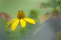 yellow daisy and bee