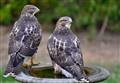 birdbath hawks