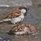 A pair of sparrows frolicking in the chilled water in Nubra valley Ladakh