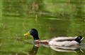 Duck on the water !