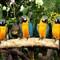 Parrots in Singapore