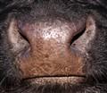 Gallaway nose