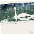 Swans Dream