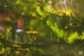 A leaf floats in a small pond in a city park. Milano, Italy, oct. 2017