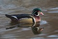 Mr. drake wood duck 010