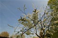 Blossom in the fruit area of the Hesbaye in Belgium