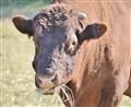 Bull Nose!