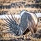 The Greater Sage-Grouse (1 of 1)