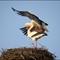 Stork pair: Stork's nest in the city of Bern, Switzerland