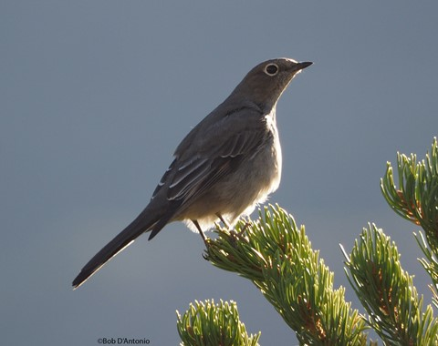 Townsend's Solitaire Shelf Rd
