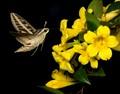 Moth-In-Flight