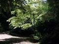 A Tree in Bodnant Garden