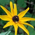 Crab Spider on Black eyed Susan