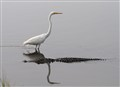 Alligator and Egret in Marsh Pond