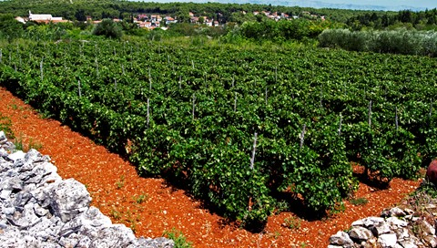 Vineyard on the poor island country