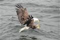 Fierce bald eagle